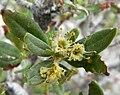 Cercocarpus ledifolius var intermontanus 2.jpg