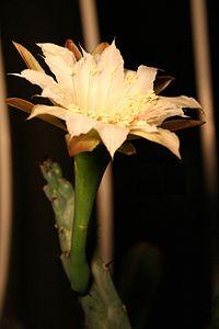 Cereus spegazzinii