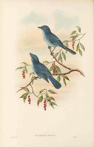 Cerulean paradise flycatcher - Cerulean paradise flycatcher by Richard Bowdler Sharpe, 1888