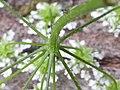 Chaerophyllum temulum inflorescence (32).jpg