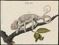 Chamaeleo vulgaris - 1700-1880 - Print - Iconographia Zoologica - Special Collections University of Amsterdam - UBA01 IZ12300019.tif