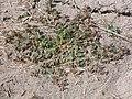 Chamaesyce serpyllifolia (4032128422).jpg