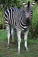 Chapmans Zebra - Curious - Adelaide Zoo.JPG