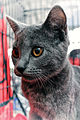 Chartreux - Weimar Meneses (6971303023).jpg