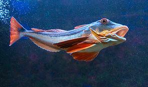 Roter Knurrhahn (Chelidonichthys lucernus)