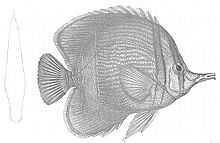 Chelmon marginalis (Discoveries in Australia).jpg