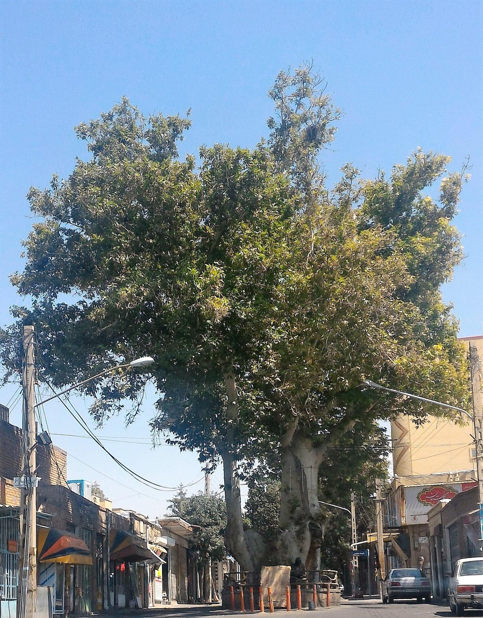 درخت چنار کهنسال اسکو