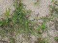 Chenopodium glaucum Elbe.JPG