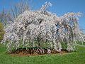 Cherry blossom in Cornell University campus.jpg