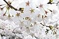 Cherry blossom near Zenpukuji river, Tokyo; March 2008 (11).jpg