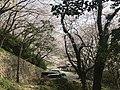 Cherry blossoms in Sasayama Park 2.jpg