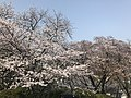 Cherry blossoms in Sasayama Park 7.jpg