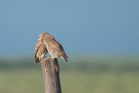 Athene noctua (Little owl)