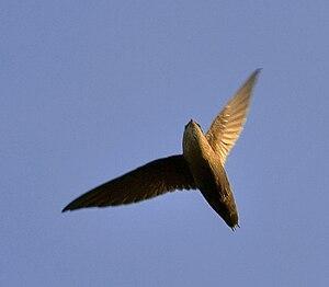 Chimney swift - Flying in Texas, United States