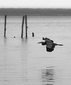 Chippokes Plantation - Blue Heron flies over James River.jpg