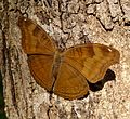 Chocolate Pansy. Precis iphita. Nymphalidae. - Flickr - gailhampshire.jpg