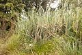 Christchurch Botanic Gardens, New Zealand section, Typha orientalis 2016-02-04.jpg