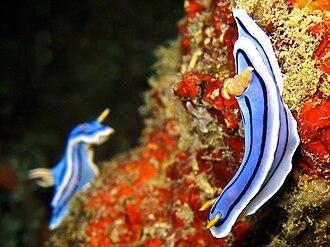 Nudibranch - Chromodoris lochi pair in Puerto Galera, the Philippines.