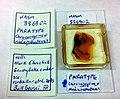 Chronomyrmex medicinehatensis UASM336802 specimen tags and aber.jpg
