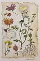 Chrysanthemum - Glembovecki Oleg.jpg