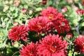 Chrysanthemum Raquel 3zz.jpg