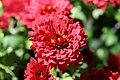 Chrysanthemum Raquel 6zz.jpg
