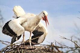 Guguló gólyák széttárt szárnyakkal