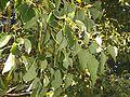 Cinamommum camphora fruit2.JPG
