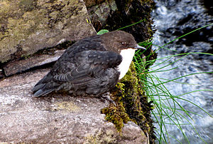 White-throated dipper - At Brandon Creek, County Kerry, Ireland