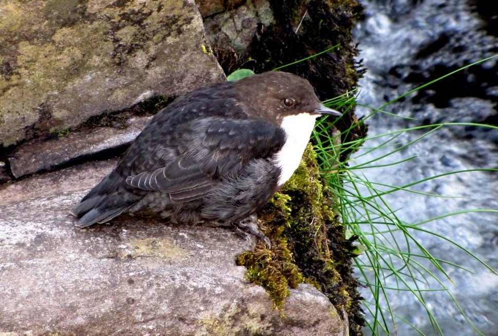 Cinclus cinclus -Brandon Creek, County Kerry, Ireland-8