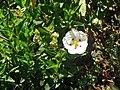 Cistus x obtusifolius (snow fire rock rose) 3 (49098085991).jpg