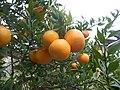 Citrus myrtifolia.jpg