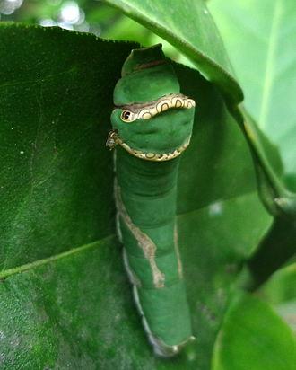 Papilio demodocus - Image: Citrus swallowtail larva