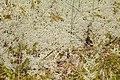 Cladina portentosa 5515.JPG