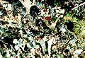 Cladonia grayi-10.jpg