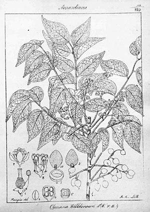 Clausena anisata - Clausena anisata