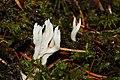 Clavulina rugosa 1644.JPG