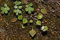 Claytonia perfoliata 2663.JPG