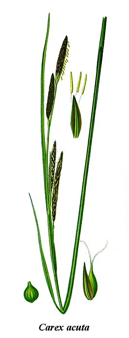 Cleaned-Illustration Carex acuta.jpg