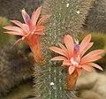 Cleistocactus.winteri.7680.jpg