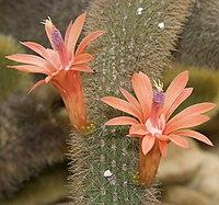 Cleistocactus.winteri.7680