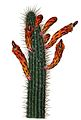 Cleistocactus baumannii BlKakteenT57.jpg