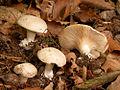 Clitopilus prunulus cropped.jpg
