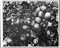 Close-up of oranges and blossoms from Redlands grove, San Bernardino County, ca.1910 (CHS-5325).jpg