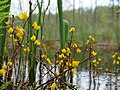 Close up of Utricularia vulgaris flowers in the Teufelsbruch swamp 04.jpg