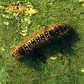 Clostera anastomosis larva.jpg