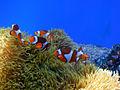 Clownfish (2).jpg