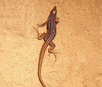 A small brown lizard with yellow stripes standing on a tan substrate.