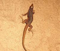 Un pequeño lagarto marrón con rayas amarillas de pie sobre un sustrato marrón.