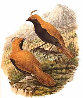 Satinbird